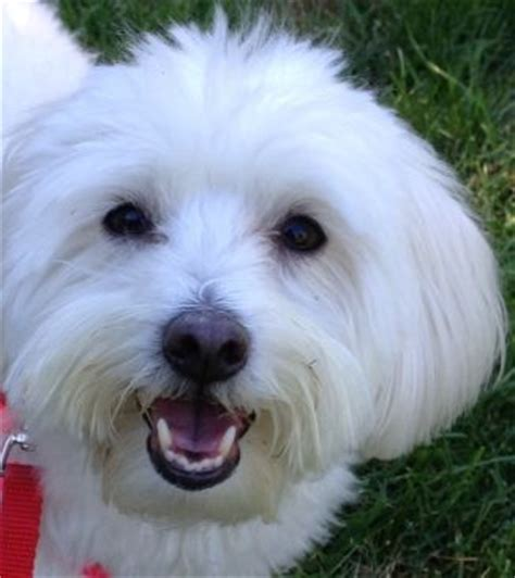 havanese rescue new york maggie in new york available for adoption from havanese rescue https www
