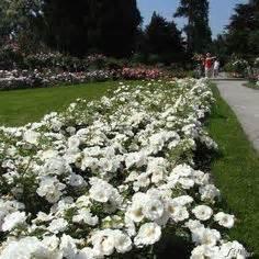 Rispenhortensie Wims by Hydrangea Paniculata Vanille Fraise Flowers