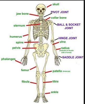 Kerangka Manusia kerangka manusia 4 bagian kerangka manusia dearyoti
