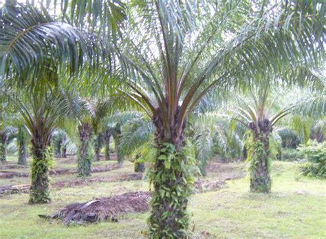 cara membuat minyak masak kelapa sawit jenis jenis hama penting tanaman kelapa sawit dan cara