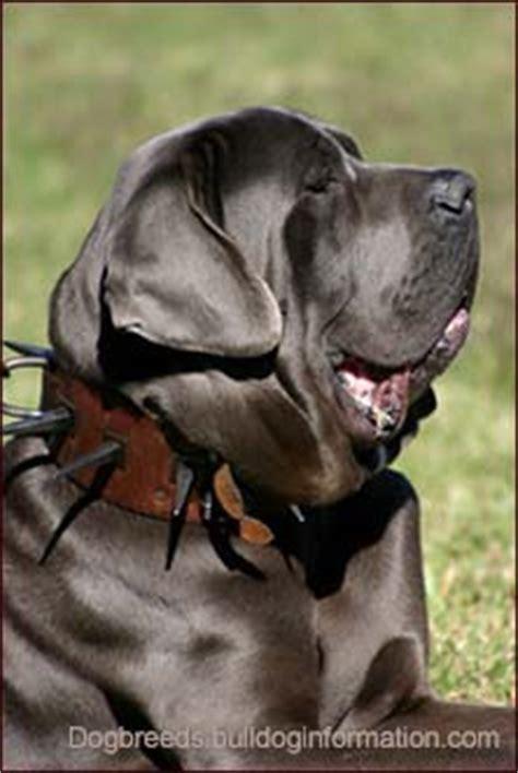 molosser dogs molossers breeds molosser dogs molossers mastiff breeds