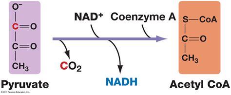 pyruvate oxidation diagram fate of pyruvate made from glycolysis sachabiochem0001