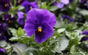 pansy pictures pansy flower pictures