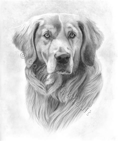 drawings of golden retrievers golden retriever drawing pet portraits painting custom graphite pencil pet portraits