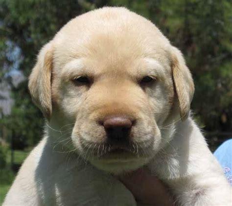 lab puppies for sale in az labrador retriever for sale labrador retriever puppies for sale in arizona az lab