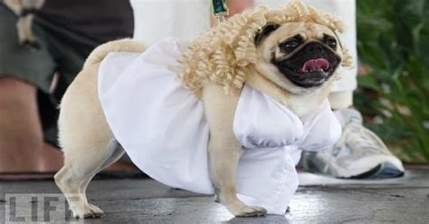 pugs costume 30 costumes that prove was made for pugs page 2 of 6 pawbuzz