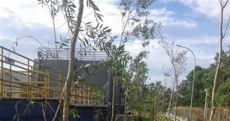 Bibit Pohon Kayu Putih jual pohon kayu putih bibit pohon kayu putih murah jual tanaman hias