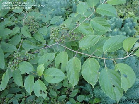 plant identification closed poison sumac 2 by cas