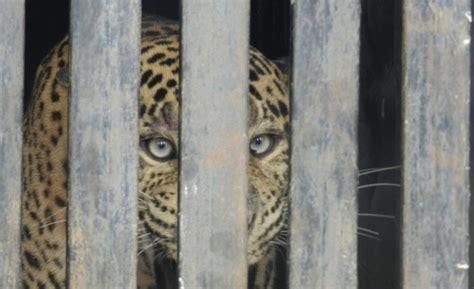 animali in gabbia guerra e zoo animali rinchiusi in gabbia e sotto le bombe