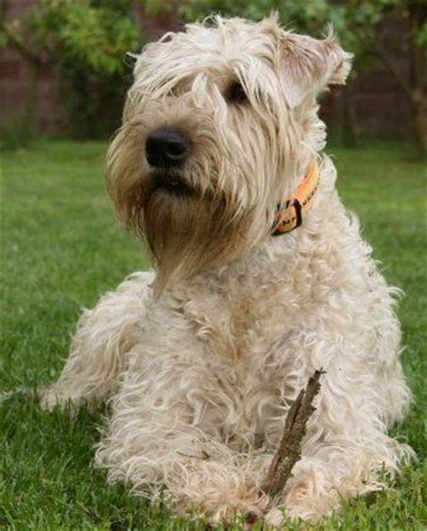 wheaten terrier bad haircuts 254 best images about wheaten terrier photography on