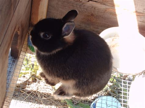 netherland rabbit colors netherland coat colors s bunnies