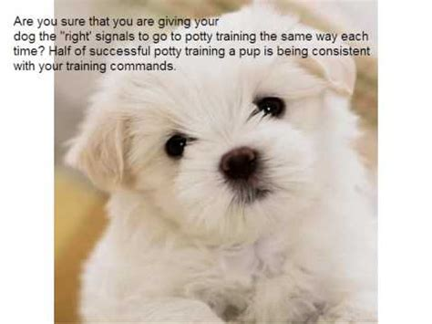 how to potty a havanese puppy how to potty your havanese puppy as quickly as possible