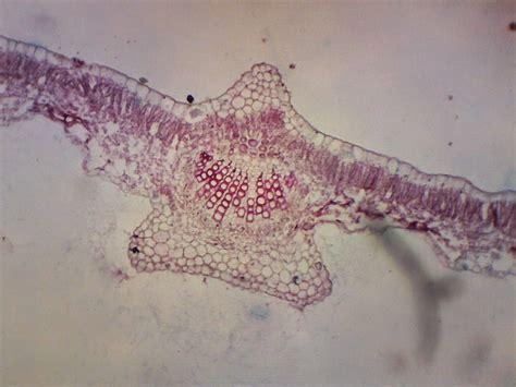 Brotowali Bubuk 1 Kg berbagi itu indah gambar mikroskopik tumbuhan