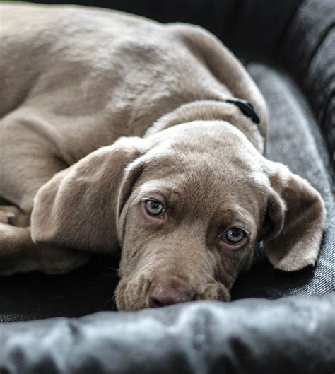 is my puppy depressed sad dogs www pixshark images galleries with a bite