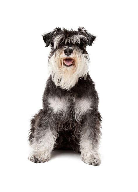 miniature uk miniature schnauzer dogs breed information omlet