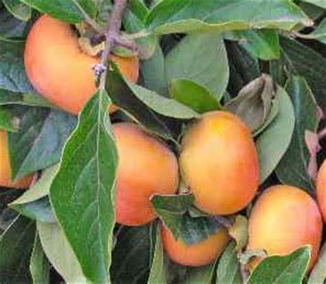 japanese fruit tree jiro fuyu persimmon japanese fruit tree grafted no