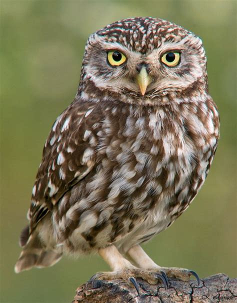 owl on pinterest