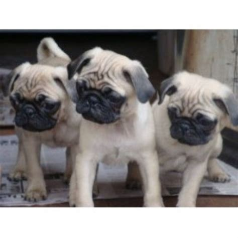 kentucky pug rescue tsuru kennel pug breeder in hopkinsville kentucky listing id 15465