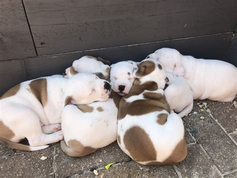 puppies for sale in philadelphia pa boxer puppies for sale philadelphia pa 192269