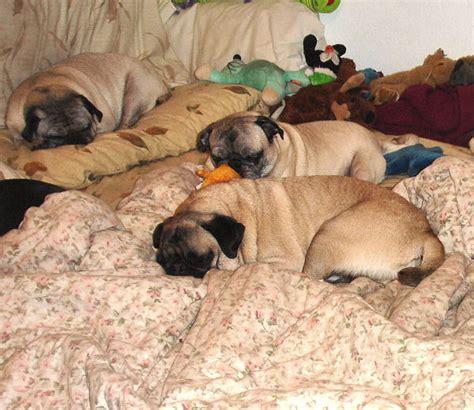pug rescue alaska pugs in alaska home