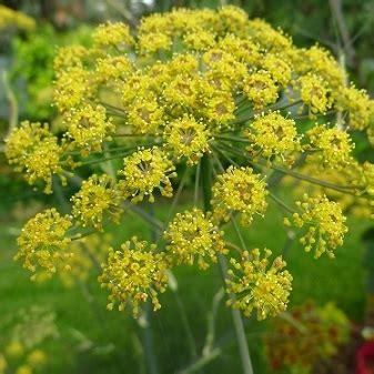 fiori di finocchio fiori di finocchio al mazzo filiera corta solidale