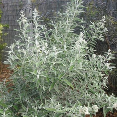 Olive Garden Broken Arrow by 177 Best Images About A Silver Foliage On