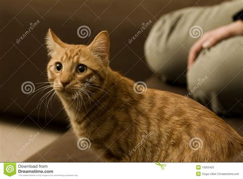 cat sitting on couch cat sitting on the sofa royalty free stock photo image