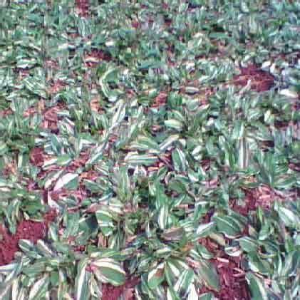 Jual Bibit Bebek Petelur Di Bandung usaha rumput gajah mini prospek cerah modal kecil untung besar