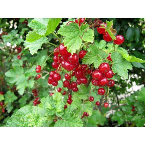 Arbuste à Fruits Rouges by Arbuste A Fruit Obasinc