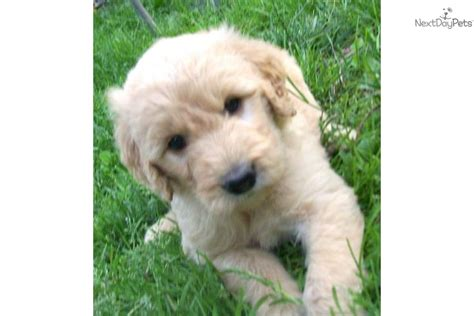 Meet Dandy A Goldendoodle Puppy For Sale For 700