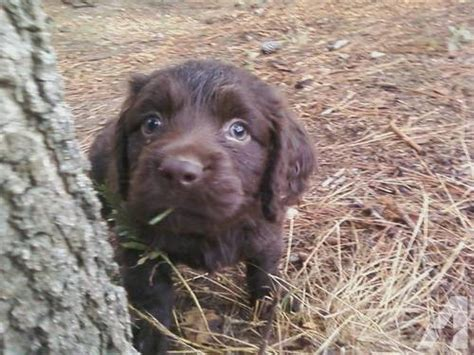 boykin spaniel puppies for sale boykin spaniel puppies for sale in burkeville virginia classified americanlisted
