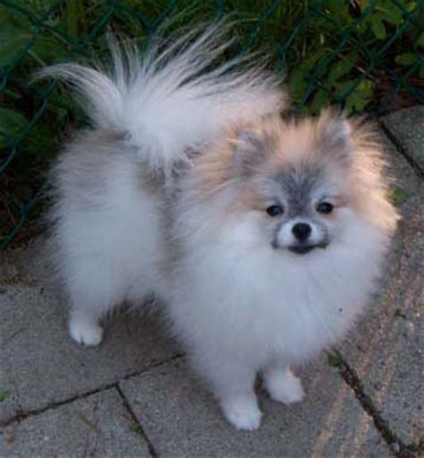 brown and white pomeranian brown and white pomeranian www pixshark images galleries with a bite