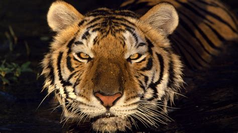 tiger head    hdtv p wallpaper