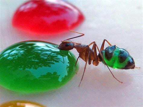 Backyard Scientist These Rainbow Colored Transparent Ants Are What They Eat