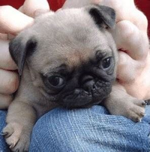 buying a pug so you want a pug puppy www pugs co uk