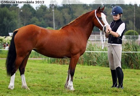 Cob Section C by Pin By Mangalarga On Pony Of Cob Type Section C