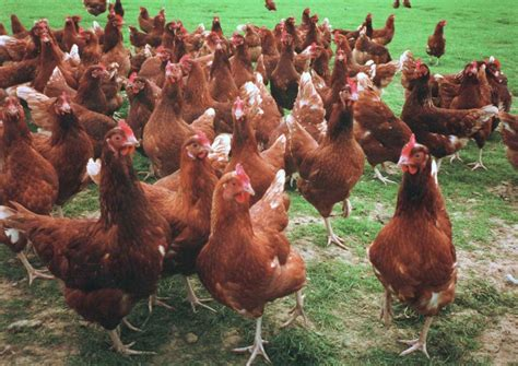 keeping chickens  meat table birds  chicken breeds