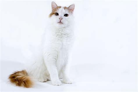 The Turkish Van Cat   Cat Breeds Encyclopedia