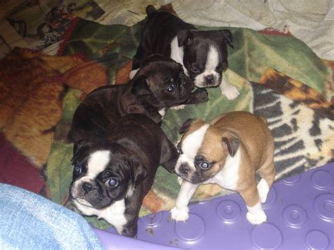 bugg puppies for sale bugg puppies for adoption www pixshark images galleries with a bite