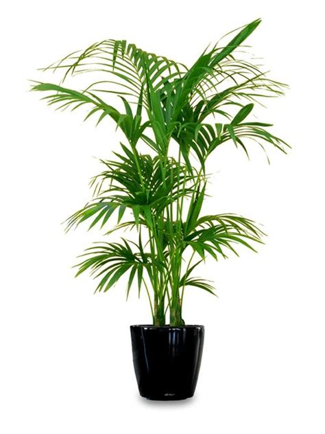 palm house plants palm care instructions house plants pinterest