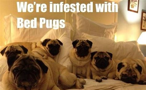 pug screen website name pug meme pun lol pug memes lol pugs