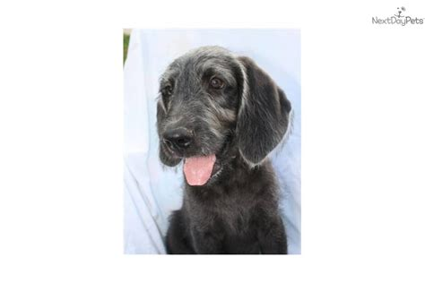 weimardoodle puppies weimardoodle puppy for sale near lancaster pennsylvania d24948de c5c1