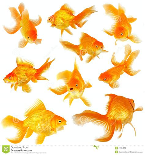 collage of nine fantail goldfish on white stock image