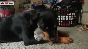 rottweiler the cat so much adorable pictures that will make your day urbantabloid