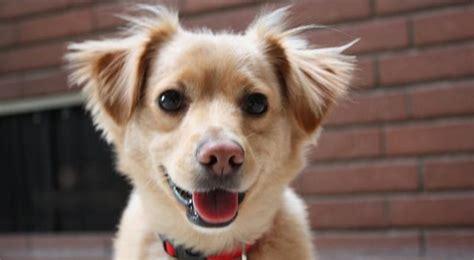 cockapoo golden retriever mix golden retriever chihuahua mix a sweet sassy pup