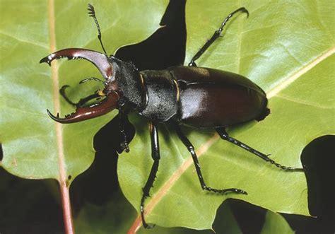 scarabeo volante ho trovato un cervo volante scarabeo sul mio balcone