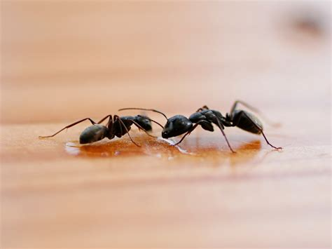 black ants ant identification guides ant extermination