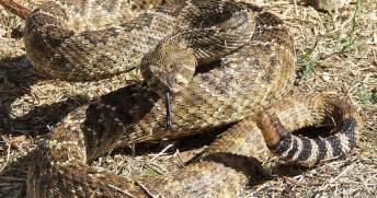 Garden Snake Rattle Diamondback Rattlesnake The Garden Of Eaden