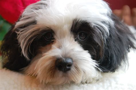 havanese puppy havanese puppies for sale on island breeds picture