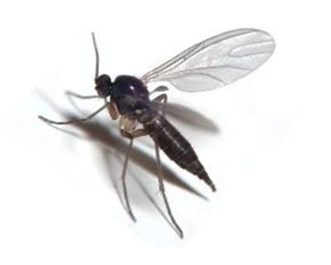 how to get rid of gnats and flies gnat fly exterminator